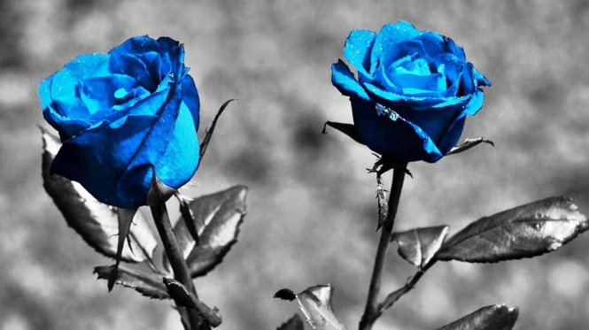 blue_roses_by_harrykrizz-d397ouu